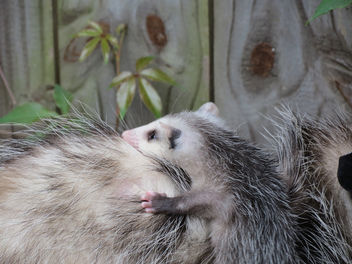Opossum with baby in my backyard - Free image #281437