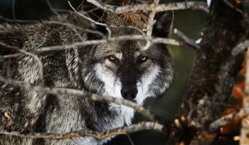 Yellowstone Wolf in Woods - image gratuit #281527