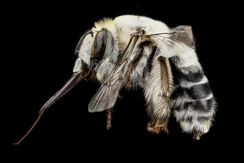 Anthophora affabilis, F, side, Pennington County, SD_2012-11-13-14.02.56 ZS PMax - image gratuit #281597