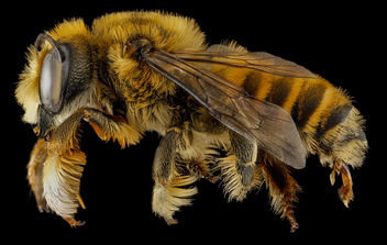 Megachile fortis, U, side, Jackson County, South Dakota_2013-01-29-17.41.37 ZS PMax - image #281667 gratis