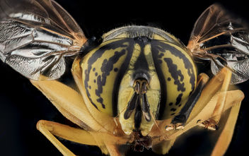 Spilomyia longicornis, Yellow Jacket Mimic Fly, U, Face, MD, Cecil County_2013-07-31-20.34.08 ZS PMax - Free image #281917
