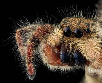jumping spider8, face, upper marlboro, md_2013-10-18-12.11.55 ZS PMax - бесплатный image #282127