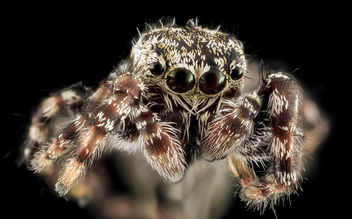 Jumping Spider 5, face, Upper Marlboro_2013-10-18-11.39.19 ZS PMax - Free image #282147