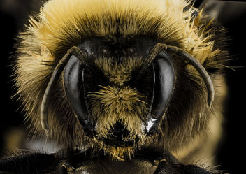 Bombus occidentalis, F, Face, Utah Co., Utah_2014-01-10-15.22.23 ZS PMax - Kostenloses image #282457