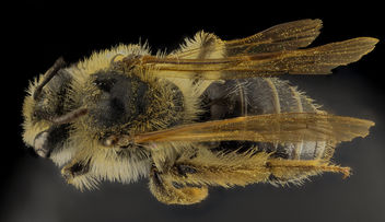 Andrena barbilabis, F, Back, PG Co, MD_2014-02-05-10.58.17 ZS PMax - Free image #282487