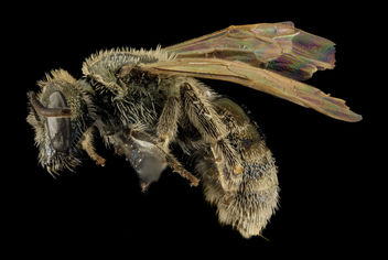 Lasioglossum prasinogaster, F, Side, WY, Lincoln County_2014-04-25-14.59.11 ZS PMax - бесплатный image #282657