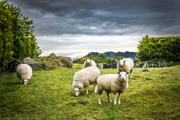 Irish sheep - image #282727 gratis