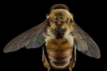 Honeybee drone, m, back, MD, pg county_2014-06-19-17.30.30 ZS PMax - Free image #282827