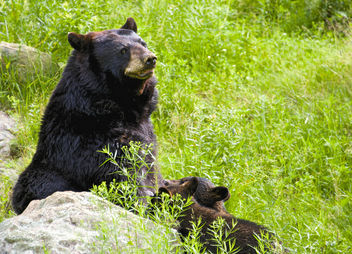 Momma bear nursing her cubs - Free image #283017
