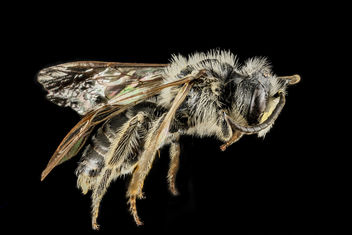 Andrena cressonii, Male, Side, Maryland_2013-05-31-18.24.49 ZS PMax - Free image #283027