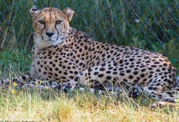 Cheetah at Parken Zoo, Eskilstuna, Sweden - бесплатный image #283097