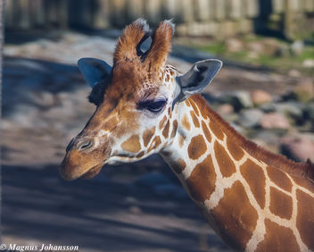 So beautiful giraff - Free image #283157