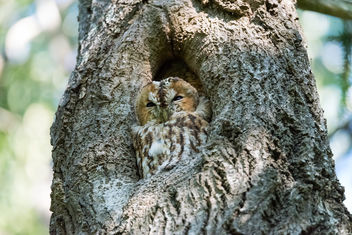 Tawny owl in the forest outside my home - бесплатный image #283297