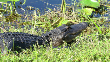 Alligator in the Everglades - image #283427 gratis