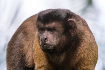 Brown Capuchin at Singapore Zoo - Free image #283857