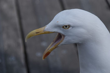 Seagull - Free image #283957