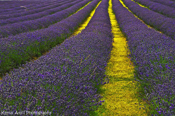 Lavender Field - Kostenloses image #284417