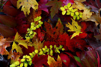 Fall Foliage Leaves - Free image #285477