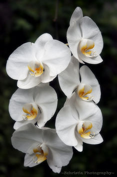 White Orchid (DSC_0274) - Free image #285527