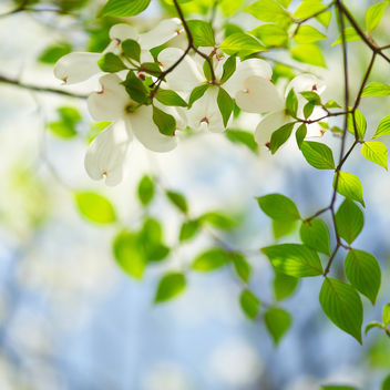 Spring shower, Under the dogwood tree - image gratuit #286277