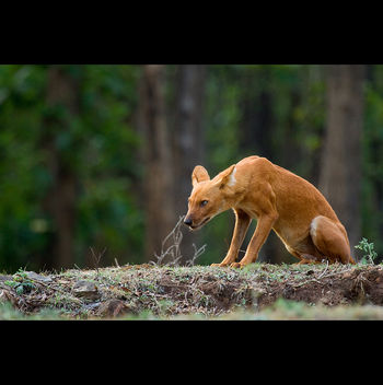 The look of Dhole (Asiatic Wild Dog) - Free image #286407