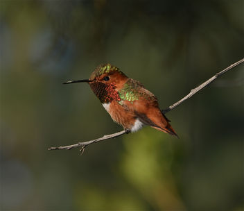 Rufous Hummingbird Perched - бесплатный image #287467