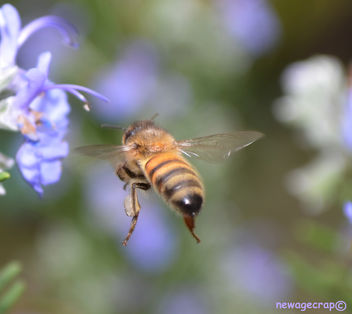 Hovering Honey Bee - Kostenloses image #287627