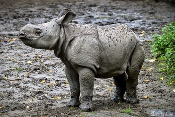 Greater One Horned Rhino Calf - image #289307 gratis