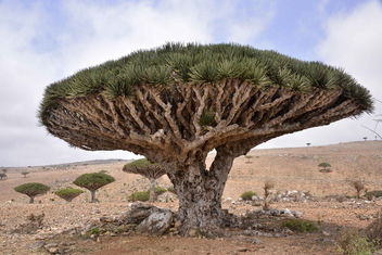 Dragon Blood Tree, Socotra Island - Kostenloses image #289497