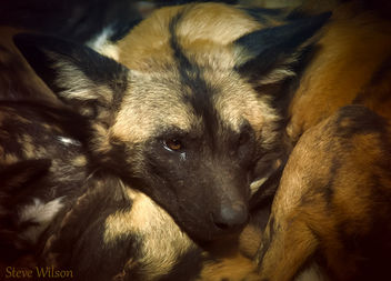 Rare Painted Dog - image #289587 gratis