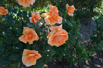 Flowers & Roses - Kostenloses image #289777