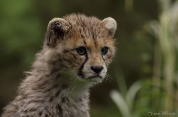 Northern Cheetah Cub - Free image #290097
