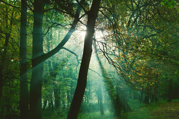 Sun rays between trees in forest - бесплатный image #290247