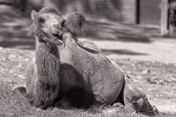 Camel black and white - image gratuit #290287