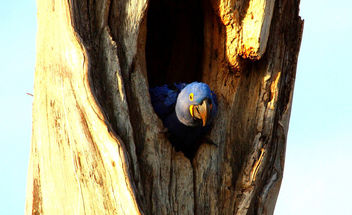 IMG_6139/Brazil/Pantanal/Female Macaw Hyacinthus in its hole tree's nest - image #291057 gratis