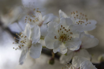 blooming cherries - image gratuit #291207