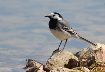 Bergeronnette grise Motacilla alba - White Wagtail - Free image #291487