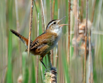 Marsh Wren Singing on a Cattail - Free image #292377
