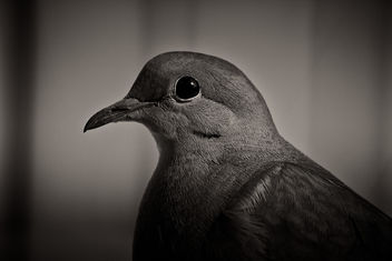 mourning dove - Free image #292507