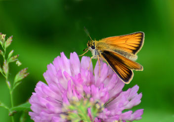 Delaware Skipper on a Clover - Free image #292527