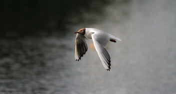 Black Headed Gull In Flight - Kostenloses image #292797