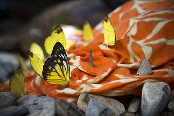 Butterflies. Borneo, Malaysia - Free image #293567