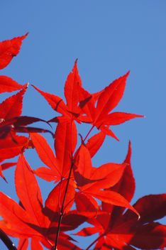 Japanese Maple Leaves - Kostenloses image #295257