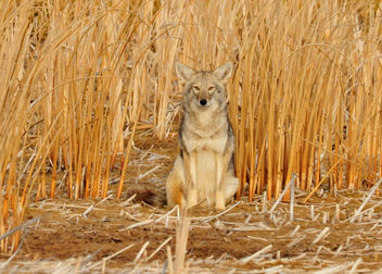 Coyote in the Cattails Seedskadee NWR - image #295387 gratis