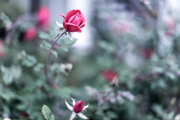 december rose - image gratuit #295557