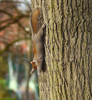 Squirrel and Oak - Free image #295837