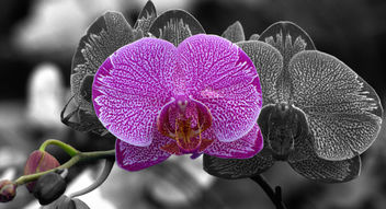 Moth orchid - Free image #296237