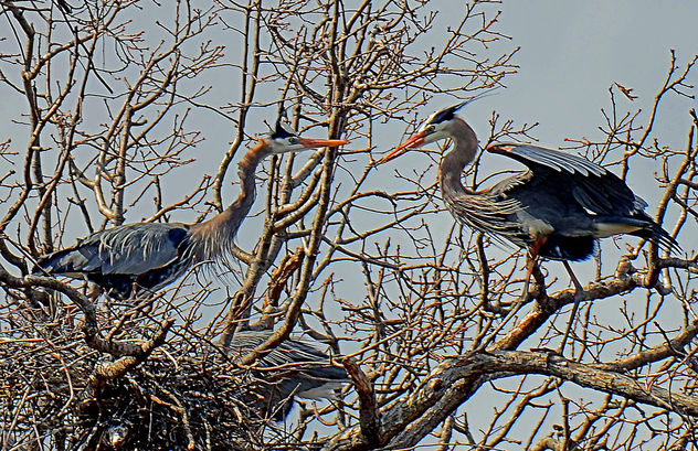 Nesting Great Blue Herons - Free image #296987