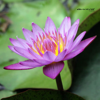 Water Lily - Free image #297337