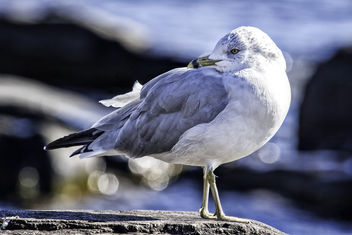 Ring Billed Sea Gull - image gratuit #297387